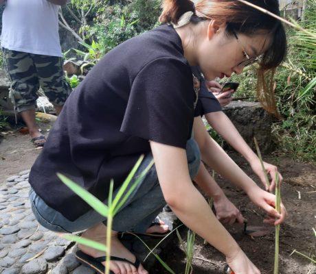 Bamboo planting